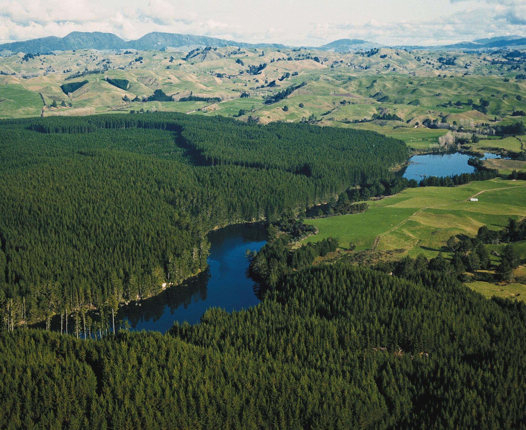Radiata forest